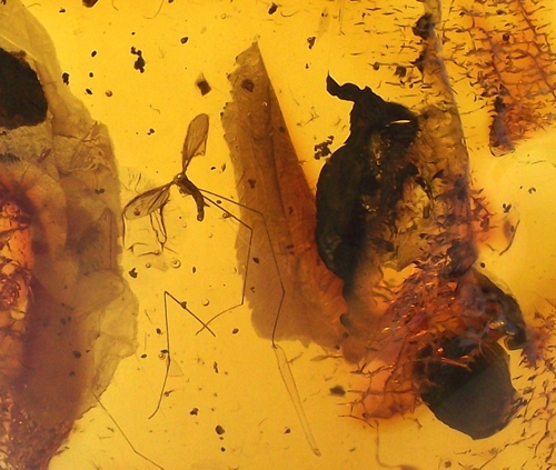 Baltic Amber fossil